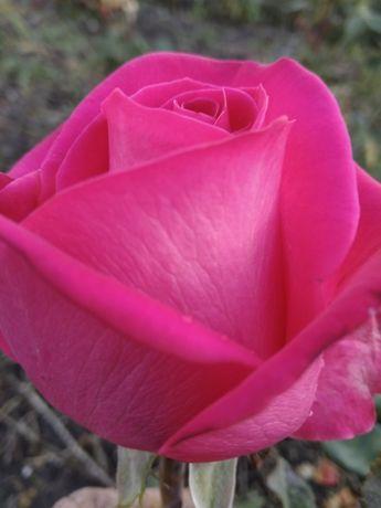 Продам саженцы роз -Осенью-Весной Летом оптом .кусты роз / окулянт.От