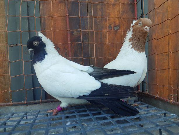 Zakonnik zakonniki czarny ptaki gołębie ozdobne