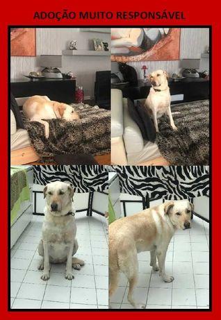 Cadela Labradora para adoção