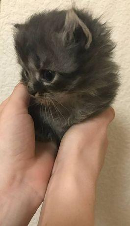 Продам пушыстых котят