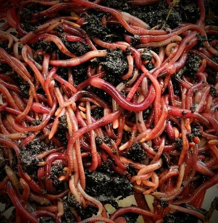 """Minhocas Eisenia Foetida (Vermelha Californiana) """"O Minhocário"""""""