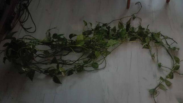 Kwiat zwisający epipremnum