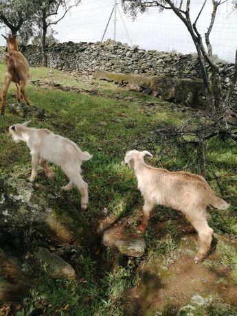 Cabritos Raça Seam e Alpina 75 euros cada mais de 20 Quilos