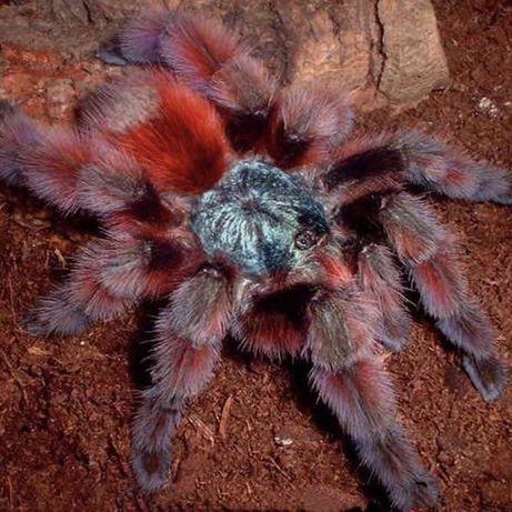 Ptasznik pająk Caribena versicolor L2