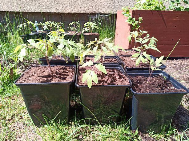 Sadzonki pomidora (malinowe i zwykłe)