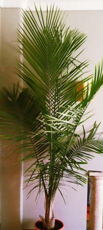 Imponente Palmeira majestosa ou Ravenea rivularis com mais de 2,5mt