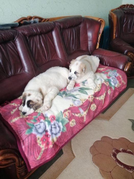 Лучший друг человека - Алабай щенок Харьков - изображение 1