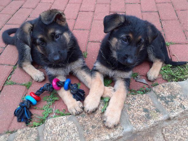 2 cadelinhas pastora alemã