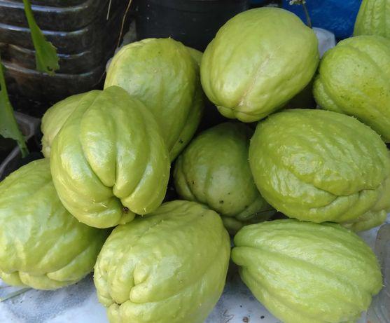 Chuchu cultivado de forma tradicional