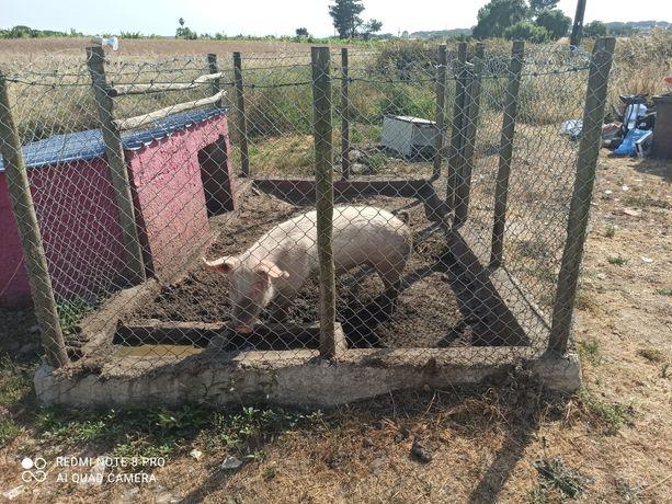 Vendo porco  com cerca de 80 kilos inteiro