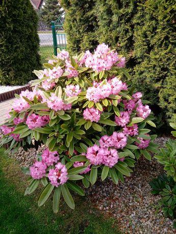 Rododendrony piękne i zdrowe 7 szt.
