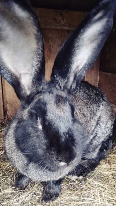Tuszka królików młodych eko Radom - image 1
