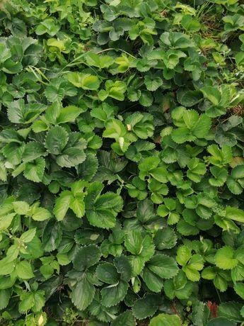Sadzonki truskawek   Malwina