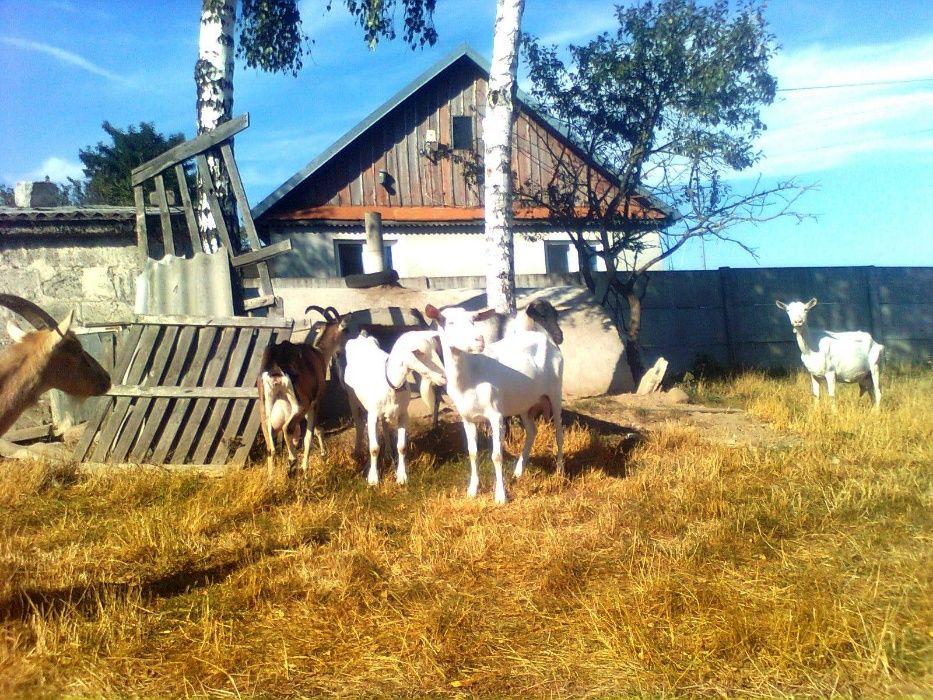 kozy z mlekiem bezrożne i rogate Siedlce - image 1