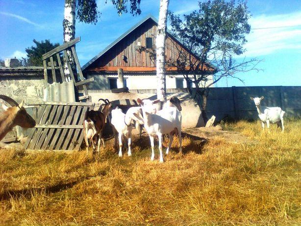 kozy z mlekiem bezrożne i rogate
