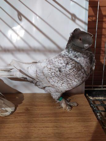 Gołębie ozdobne mewka orientalna