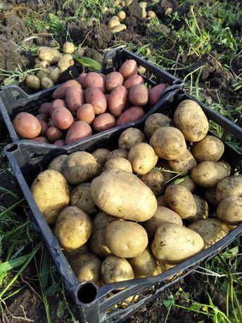 Картофель экологически чистый.