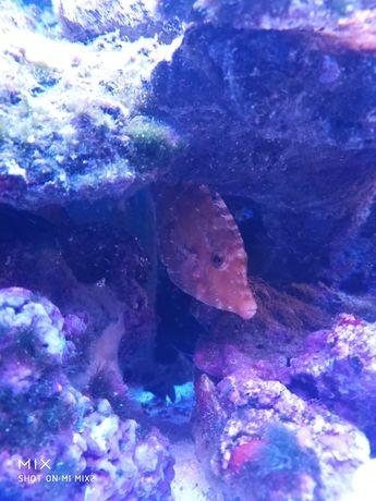 Acreichtys tomentosus Brzydal akwarium morskie