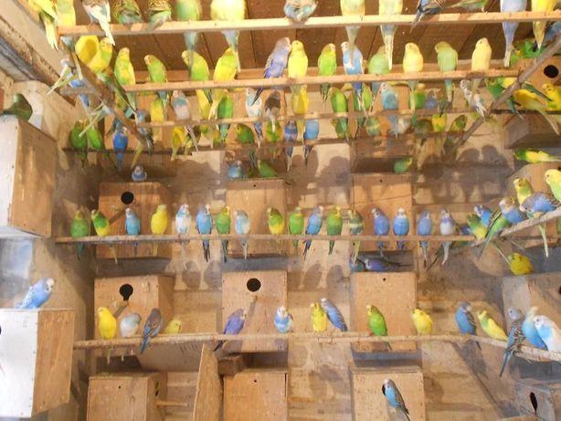 Продам: молодых и взрослых волнистых попугаев (Розница)