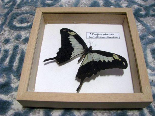 Motyl w gablocie - nowy