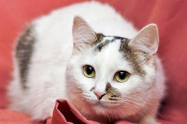 Грациозная и обаятельная бело-серая кошка Инга (1 год)