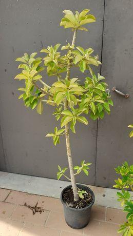 Euphorbia umbellata / synadenium grantii ( Janaúba )