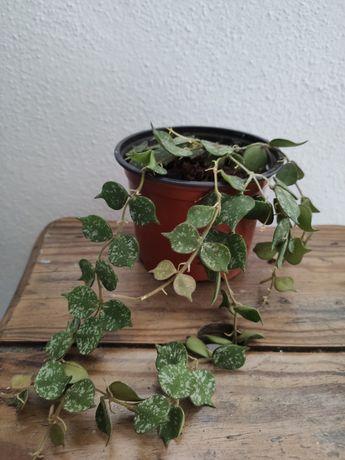 Planta Hoya curtisii