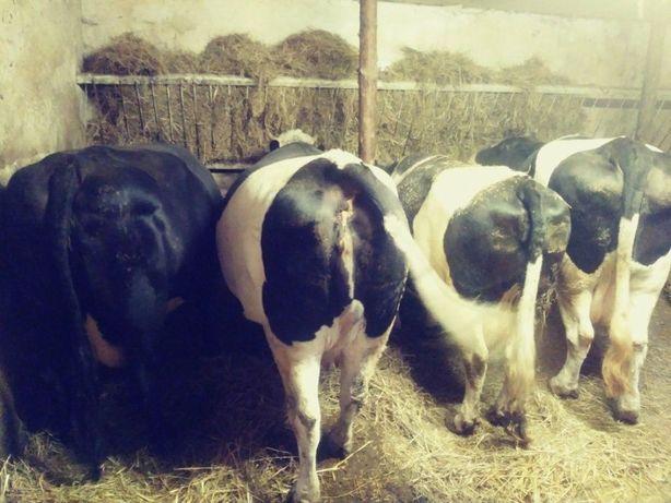 Sprzedam krowę, krowa, krowy, jałówka, jałówki dobre ceny