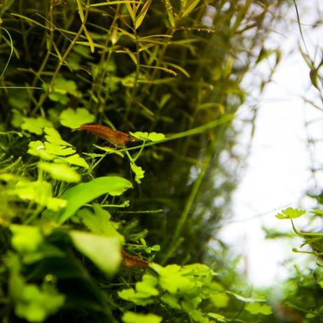 Hydrocotyle Sp Japan (rośliny akwariowe, koniczynka)