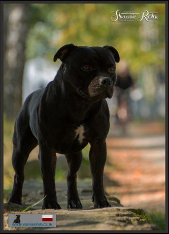 Staffordshire Bull Terrier/ Staffik/ ZKwP (FCI)