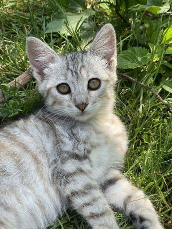Котенок окрас вискас серый тигровый полосатый кошеня віскас тигровий