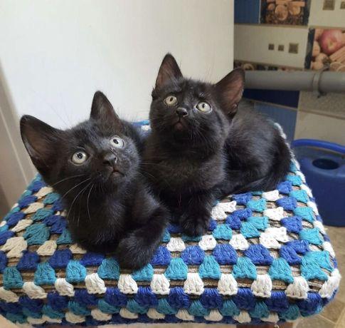 Очаровательные черные котятки, мальчики