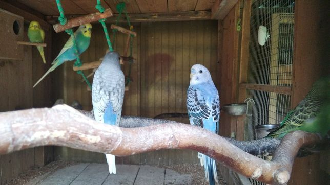 Papugi faliste młode papugi