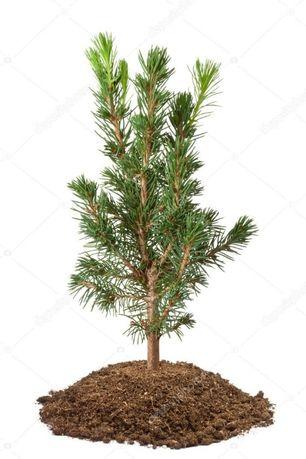 Саджанці ялини звичайної(європейської Picea abies)