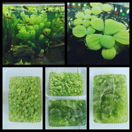 Rośliny do akwarium pistia i limnophilia