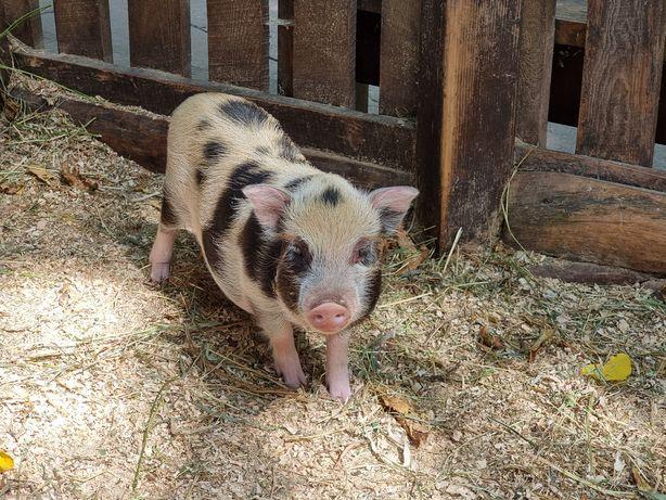 Подрощенные Мини пиги карликовые декоротивные  свинки