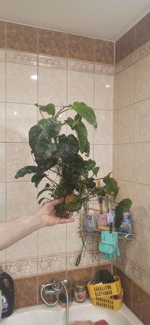 Roślina do akwarium Anubis