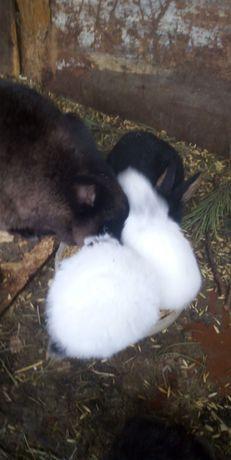 Кролики молодняк мардер
