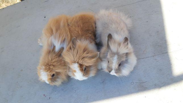 Vendo coelhos anoes