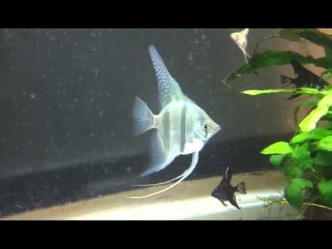 Skalar blue 4 -5 cm torun