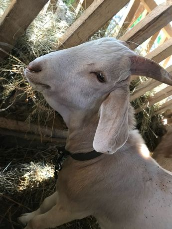 Козлик козел козлёнок
