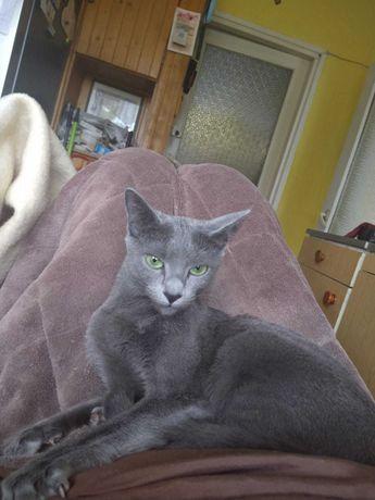 kotka rosyjska niebieska