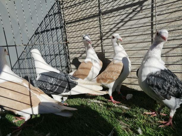 Gołębie. Śląskie tarczowe. Pocztowe tarczowe