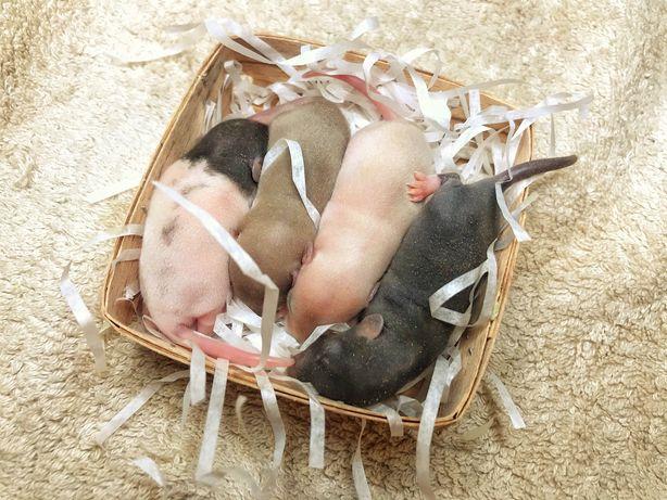 Крыски дамбо , сиамские , агути