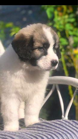 Московская собака