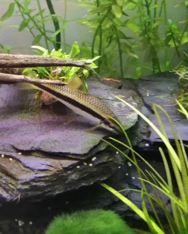 Wymienię rybę kosiarkę na glonojada niebieskiego  małego
