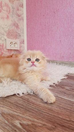 Вислоухие и прямоухие котята Золотые и серебристые шиншиллы