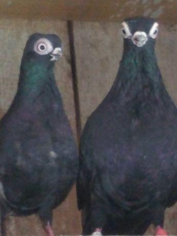 Gołębie ozdobne szek, szeki, krotkodzioby