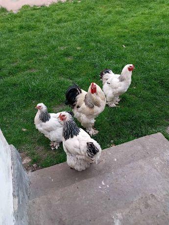 Брама продам кури