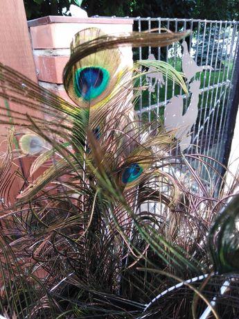 Pawie pióra nowe